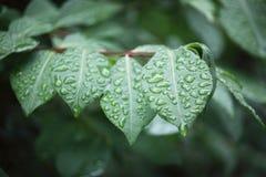 接近的露水小滴放牧叶子早晨理想的水 免版税图库摄影