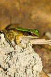 接近的青蛙石头 库存照片