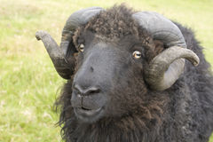 接近的顶头公羊绵羊 库存图片