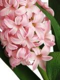 接近的风信花粉红色 免版税库存图片