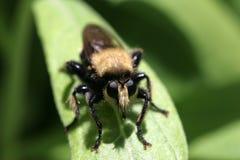 接近的飞行昆虫照片强盗 免版税库存图片
