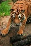 接近的马来亚老虎 免版税库存照片
