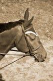 接近的马 免版税库存照片