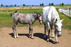 接近的驹母马紧贴 免版税图库摄影