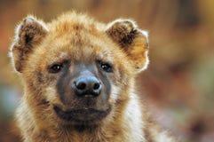 接近的鬣狗 免版税库存照片