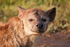 接近的鬣狗 免版税库存图片