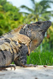 接近的鬣鳞蜥 免版税库存图片
