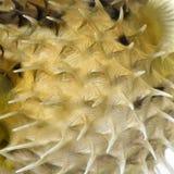 接近的鱼剥皮  库存图片