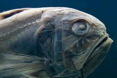 接近的鱼化石 免版税图库摄影