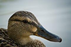 接近的鸭子母野鸭 免版税图库摄影