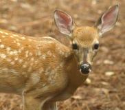 接近的鹿小鹿身分被盯梢的白色 库存照片