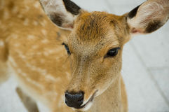 接近的鹿母鹿日本奈良 库存图片