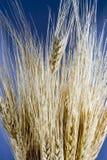 接近的麦子 库存照片