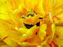 接近的黄色的花宏观郁金香 免版税库存照片