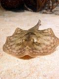 接近的黄貂鱼 免版税图库摄影