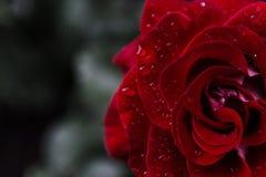 接近的黑暗dof小滴极其图象宏观红色玫瑰浅水 极端关闭 库存图片