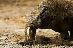 接近的龙分叉了komodo舌头 免版税图库摄影