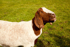 接近的绵羊 库存照片