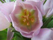接近的紫色郁金香 图库摄影