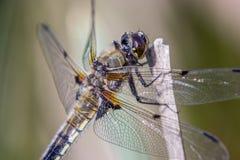 接近的蜻蜓 库存图片