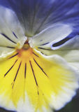 接近的蝴蝶花 免版税图库摄影