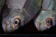 接近的画象面孔两钓鱼灰色、伯根地和绿色树荫与一张闭合的嘴和非常大凹面推出的黄色眼睛在a 免版税库存照片