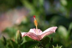 接近的hibicus粉红色 免版税库存照片