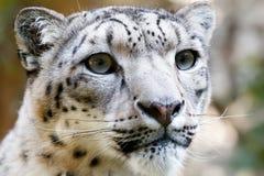 接近的irbis豹子纵向雪 免版税库存图片