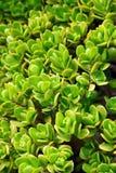 接近的kalanchoe多汁植物 图库摄影