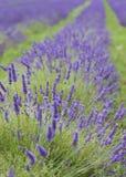 接近的lavendar纵向 免版税库存图片