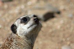 接近的meerkat哨兵 库存图片