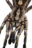 接近的poecilotheria蜘蛛塔兰图拉毒蛛 库存照片
