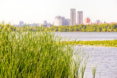 接近第聂伯河的芦苇 库存照片