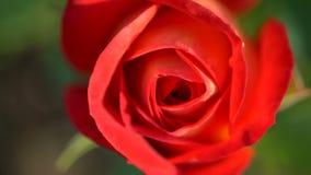 接近红色玫瑰色 影视素材