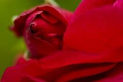 接近红色玫瑰色  免版税库存照片
