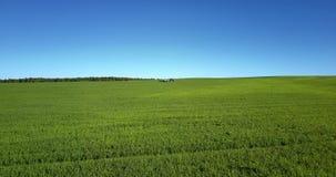 接近绿色领域植物的快速的飞行在蓝天下 股票视频