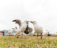接近邦迪滩,悉尼,澳大利亚的哺养的银色鸥 两只鸟结束自己 免版税库存照片