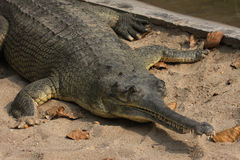 接近gavial  免版税库存图片