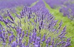 接近lavendar  免版税图库摄影