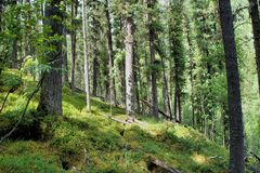直接雪松森林 免版税库存图片