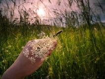 接骨木浆果在手中在草 免版税库存图片