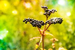 接骨木花老黑或黑接骨木浆果 库存图片