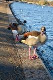 推进的鸭子 免版税库存图片
