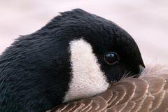 掩藏他的额嘴的鹅在翼下 免版税库存图片