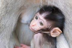 掩藏和吮母亲` s胸口的小猴子 免版税库存照片