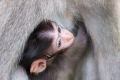 掩藏和吮母亲` s胸口的小猴子 免版税库存图片