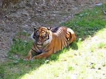 掩藏和在树荫的老虎的逗人喜爱的危险美丽的可爱的照片 免版税库存图片