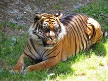 掩藏和在树荫的老虎的逗人喜爱的危险美丽的可爱的照片 库存图片