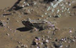 掩藏在一个泥泞的水坑的一只小的青蛙 动物生活  库存照片