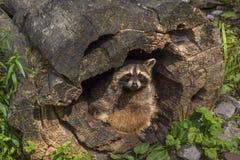 掩藏在一个空心树桩的浣熊 免版税库存照片